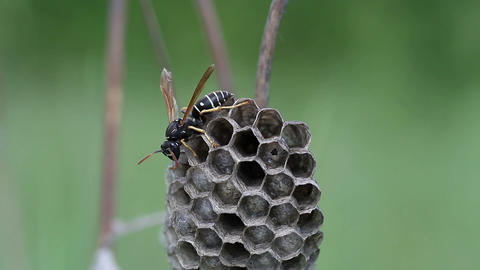 Wasp in its nest Stock Video Footage