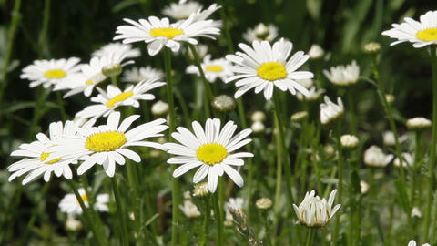 white daisies in a garden Stock Video Footage