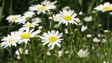 white daisies in a garden Footage