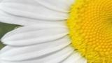 white daisie close-up Footage
