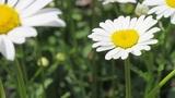 white daisie Footage