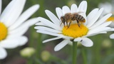 bee on the white daisy Footage