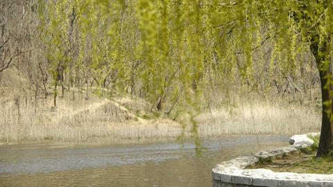 Dense willows by sparkling lake,reed,reedbed,wetland Stock Video Footage