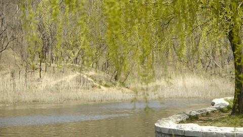 Dense willows by sparkling lake,reed,reedbed,wetland Footage