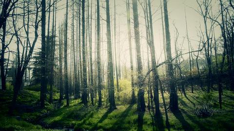 Sunlight woods.Weeds by river,dense cedar dawn-redwood... Stock Video Footage