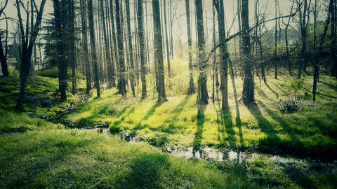Sunlight woods.Weeds by river,dense cedar dawn-redwood forest,woods,Jungle,shrub Footage