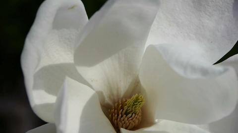 Beautiful magnolia bloom in sunshine Stock Video Footage