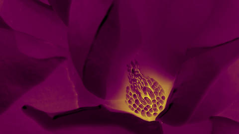 Beautiful magnolia bloom Kaleidoscope Stock Video Footage