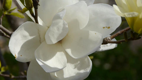 Beautiful magnolia bloom in sunshine Stock Video Footage