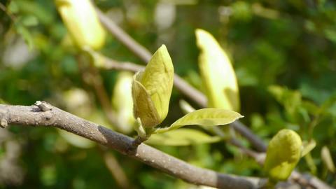 Beautiful magnolia flower bud in sunshine Stock Video Footage