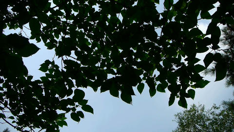 The dense foliage covered sky Footage