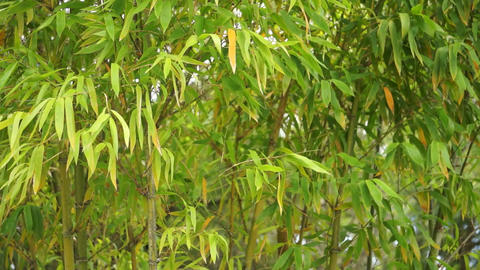 Bamboo Background Blowing in the Breeze Stock Video Footage