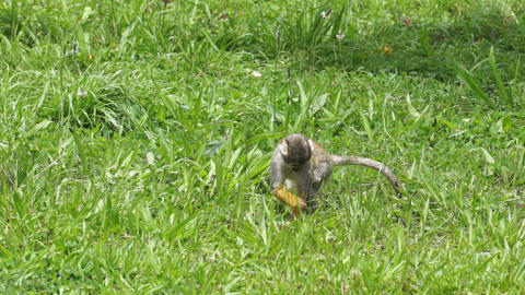 Cute Squirrel Monkey Walking Through the Grass Stock Video Footage