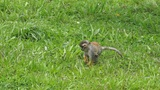 Cute Squirrel Monkey Walking Through the Grass Footage