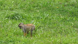 Cute Squirrel Monkey Walking Through the Grass Live Action
