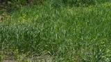 Lush weeds in wind,grassland Footage