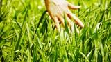 Lush weeds in wind,grassland,Wheat seedling,barley,wild-herbs,vegetables Footage