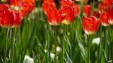 Tulips in full bloom Footage