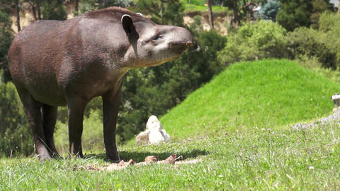Tapir Browsing Mammal Similar to Pig Stock Video Footage