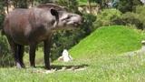 Tapir Browsing Mammal Similar to Pig Footage