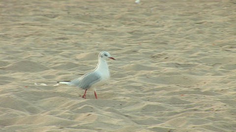 seagull a Stock Video Footage