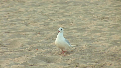 seagull a Footage