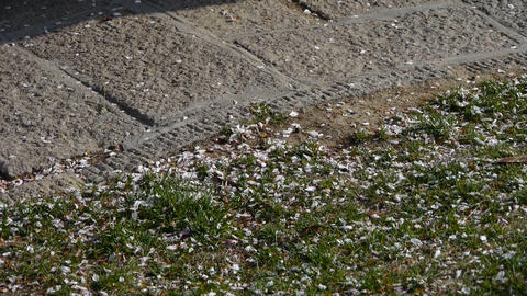 Petals falling on ground Stock Video Footage