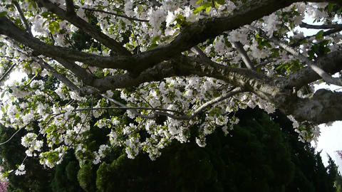 beautiful cherry blossoms tremble in wind,pine Stock Video Footage