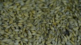 Many wheat & cereal seeds Footage