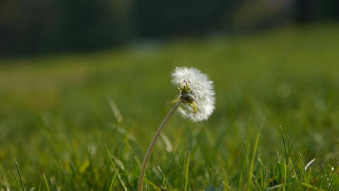 Beautiful dandelion Stock Video Footage