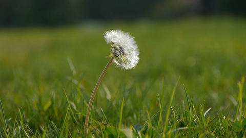 Beautiful dandelion Stock Video Footage