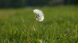 Beautiful dandelion Footage