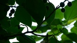 The dense branches foliage & fruit covered sky,sunlight through leaves Footage