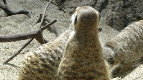 African meercats explore while a standing sentinel keeps... Stock Video Footage