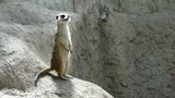 African meercats explore while a standing sentinel keeps watch for the group 100051 Footage