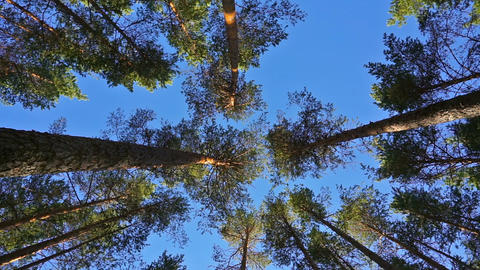 tops of pine trees in forest Footage