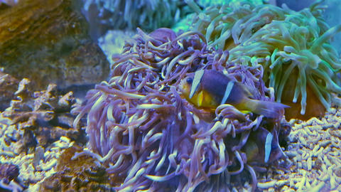 Clownfish shelters in anemone in Red Sea Footage