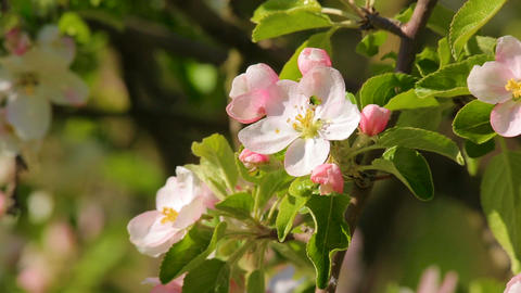 Blossoming apple flower close-up, in which creeps bug Footage