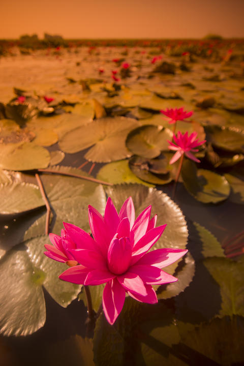THAILAND UDON THANI LOTUS LAKE Foto