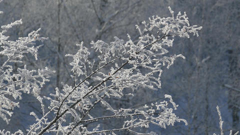 Branch of tree covered with frost on frosty day Footage
