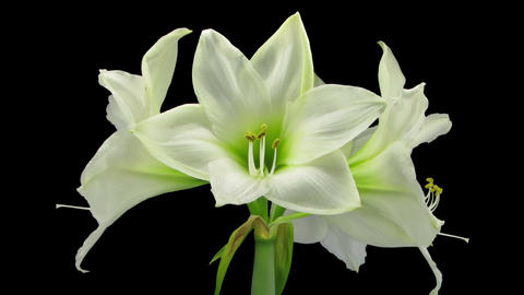 Growing and rotating white amaryllis flower in RGB + ALPHA matte format Footage
