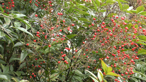 Wild berries in the forest Footage