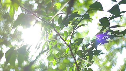 Green Young leaves sun Flare,太陽、緑、夏、日差し、逆光、フレア ライブ動画