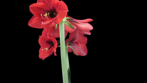 Growing and rotating Royal Red amaryllis flower in RGB + ALPHA matte format Footage