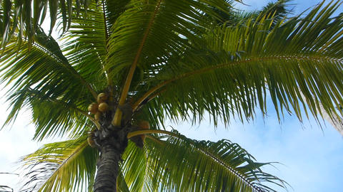 Tropical green palm trees Footage