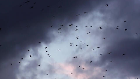 Crow Birds In The Dramatic Sunset Sky Footage