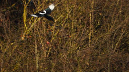 Magpie (Pica pica) start to fly Footage