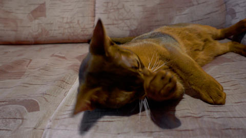 Abyssinian cat washes and yawning Live Action
