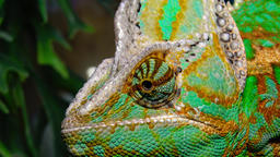 The veiled chameleon, cone-head (Chamaeleo calyptratus) Footage