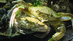 Swimming crab (Macropipus holsatus), male and female before mating Footage